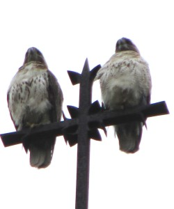 5 hawks